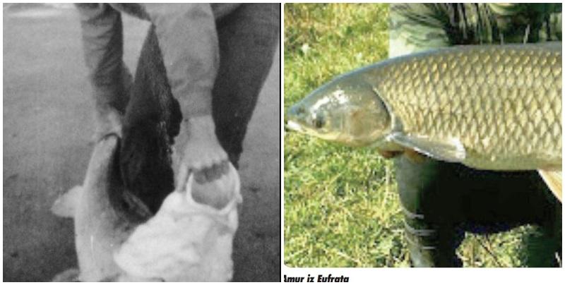 Riba u druženju