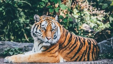 Photo of మంచిర్యాల జిల్లాలో పులి కలకలం, Tiger spoted in mancherial district