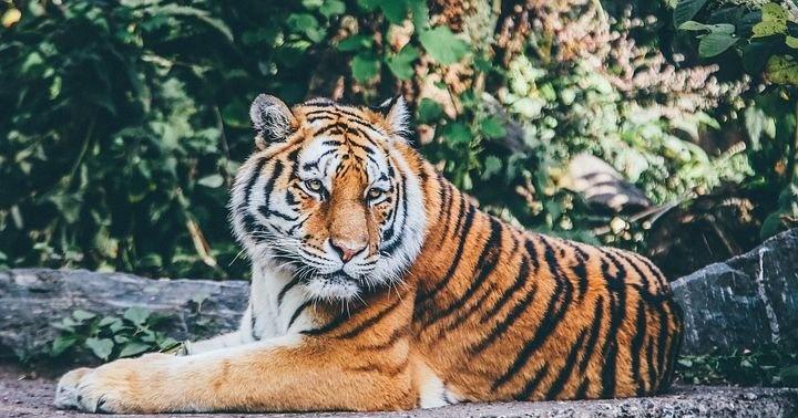 మంచిర్యాల జిల్లాలో పులి కలకలం, Tiger spoted in mancherial district