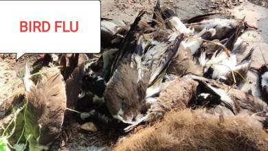 Photo of బర్డ్ ఫ్లూ మనుషులకు వస్తుందా? Does bird flu come to humans