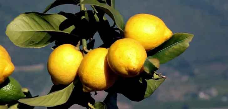 Adana'da çiftçilere 'andes limonu' tanıtıldı