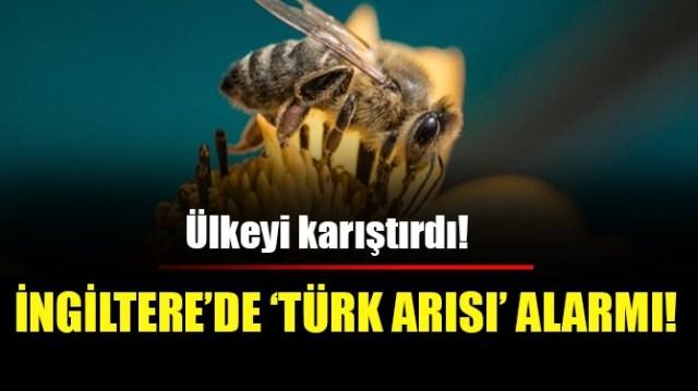 İNGİLTERE'DE 'TÜRK ARISI' ALARMI!