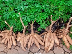 Cassava-Shrubs - TVC