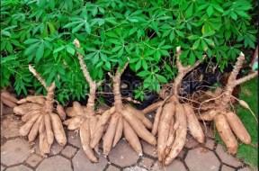 Cassava-Shrubs - TVC