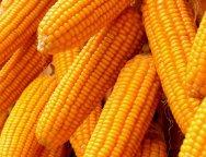 maize-farming-TVCNews