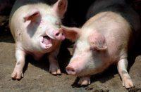 peste porcina en Rep. Dominicana