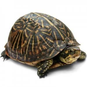 Панцирь-черепах-Свойства-и-применение-2