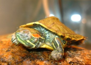 Diseases of red-eared turtles: the main symptoms  Diseases