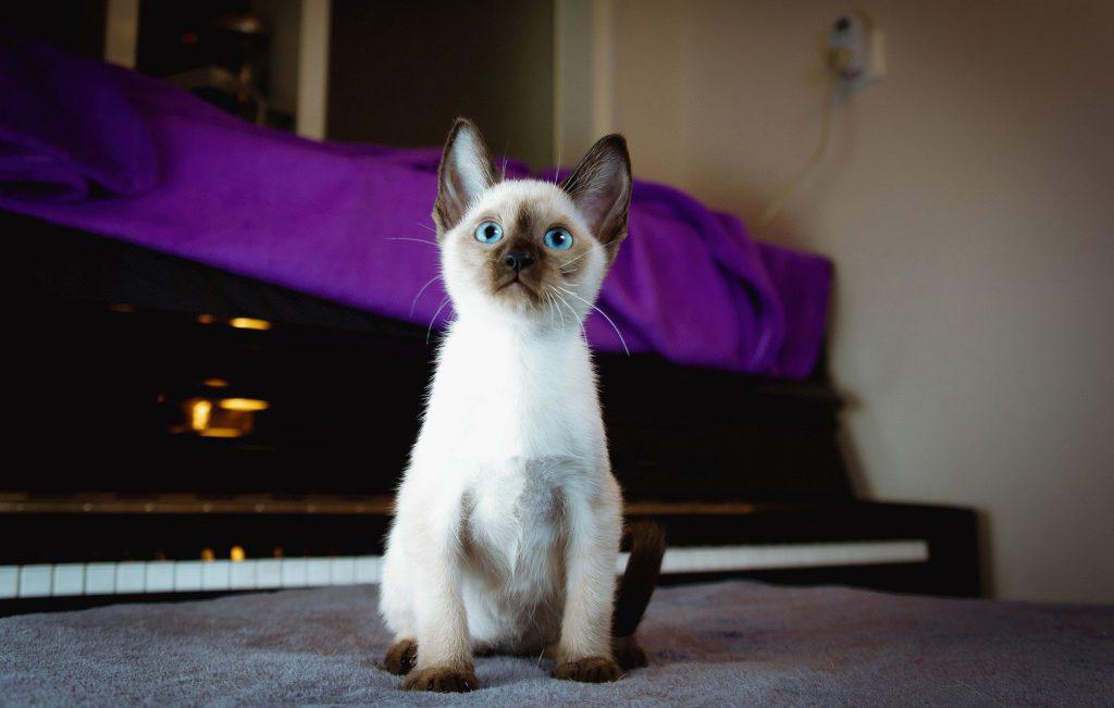 Сколько живут сиамские кошки в домашних условиях