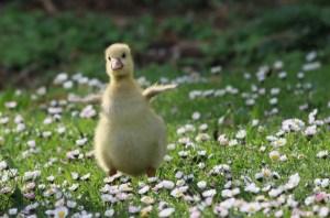 baby duck fluttering wings