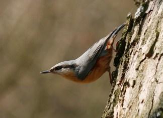 Jaki ptak biega po drzewie głową w dół?