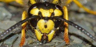Któż nie spotkał się z opinią, że najgroźniejszym w naszym rejonie geograficznym owadem jest szerszeń. Jego jad zabija, wielu ludzi zmarło w wyniku ataku tego strasznego owada.