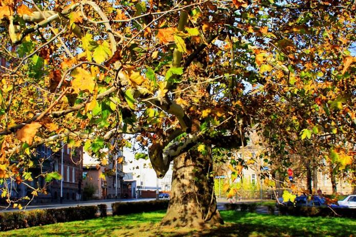 platan, drzewo