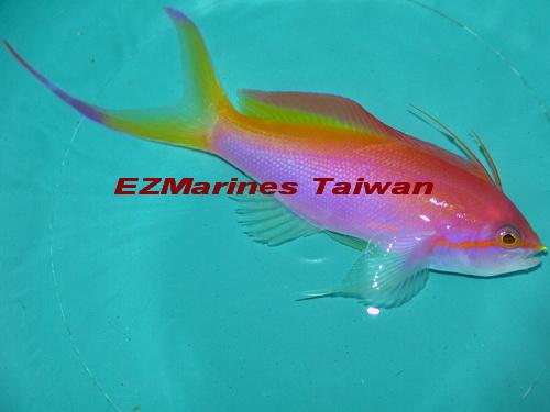 馬爾地夫小紅苺海金魚