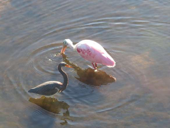 Spoonbill and Tricolor