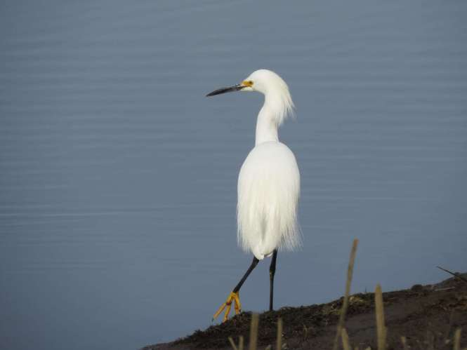 Snowy Egret (look at that foot!)