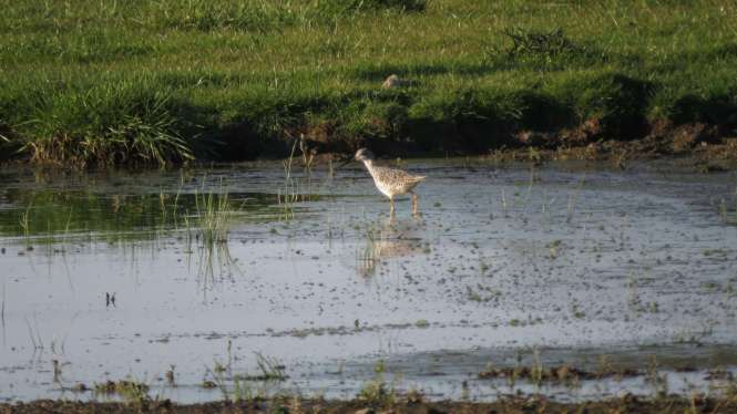 A pair of Greater Yellowlegs happen to be in a field nearby
