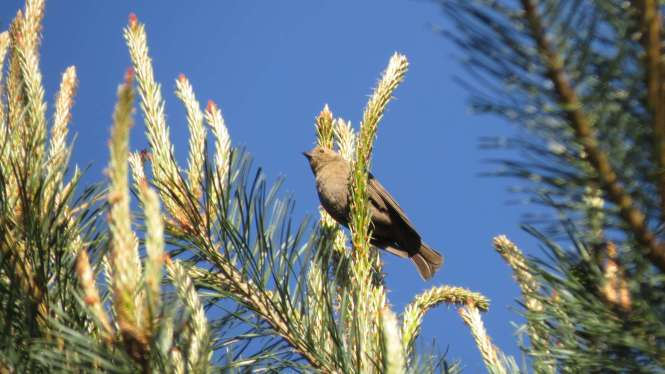 Drab Bird
