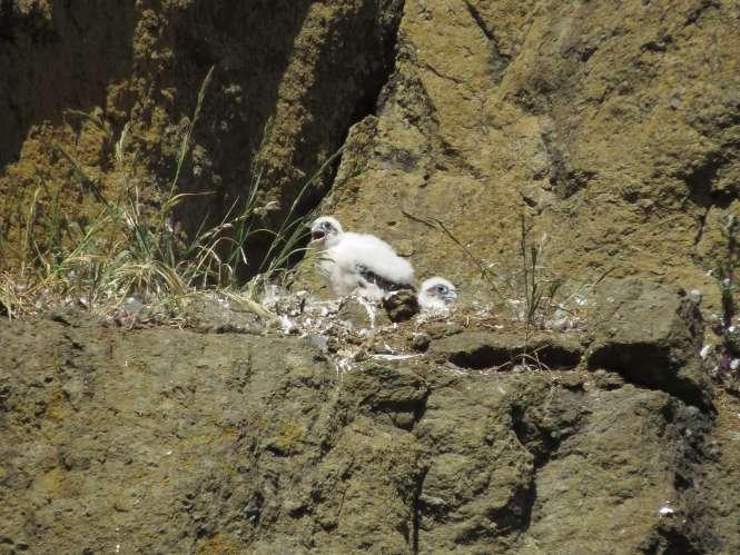 Peregrine nestlings