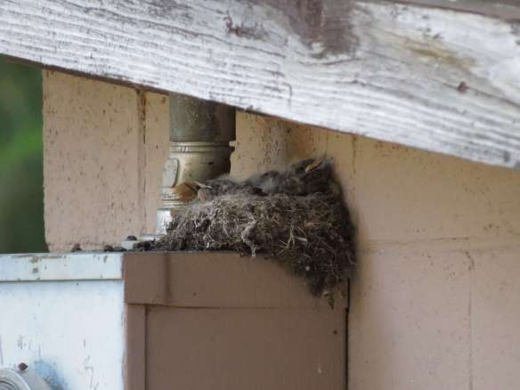 Say's Phoebe nest