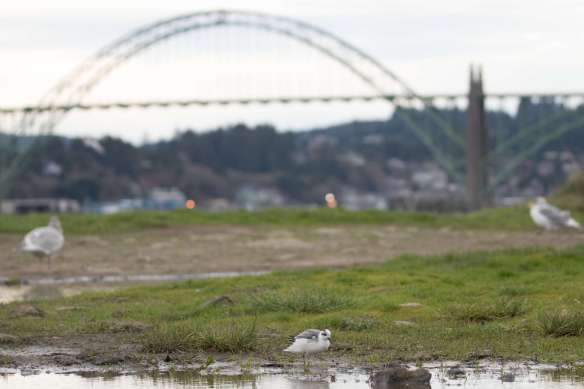 Red Phalarope and the Yaquina Bay Bridge
