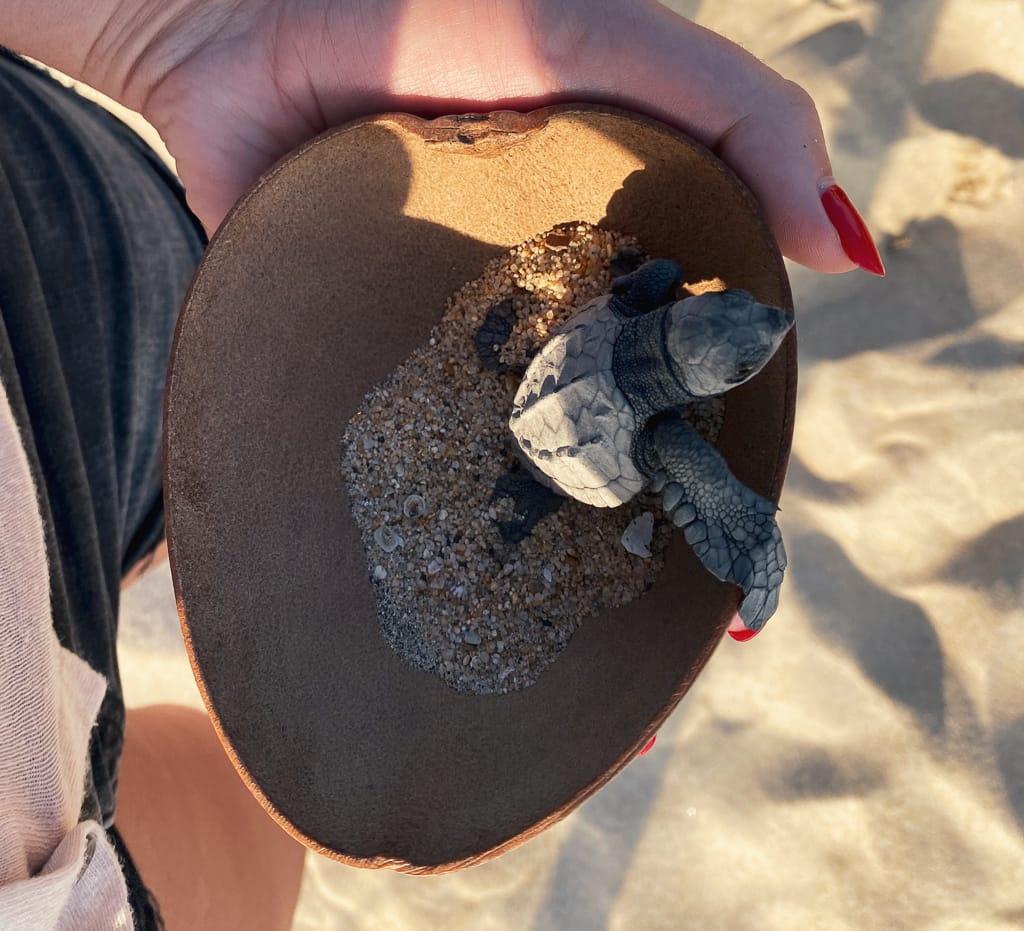 lache de bebe tortue sur la plage de bacocho