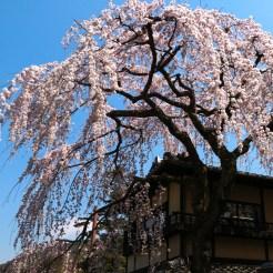 A grandiose Sakura tree in Masuyacho