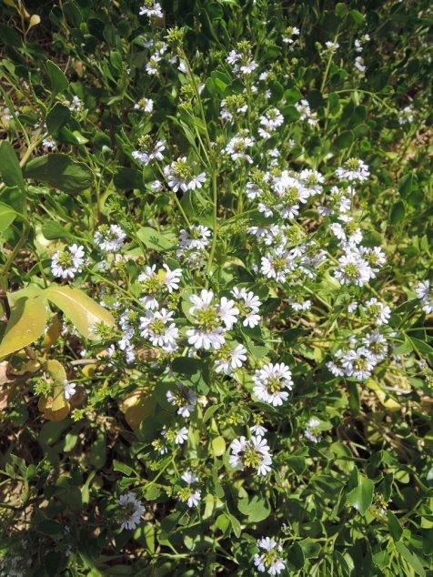 South Australian fan flowers (Scaevola crassifolia)