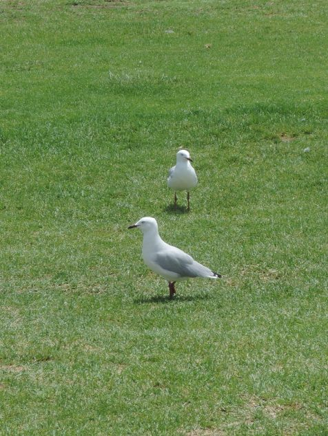 Just a common seagull ...