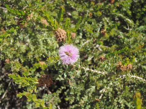 Melaleuca gibbosa (slender honey murtle)