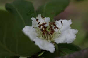 macro photo of medlar blossom