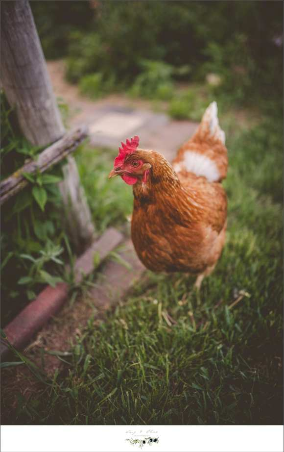 chickens, outdoor photography, sunset photography, engagement sessions, wildlife, domestic farm animals, chickens are in the photo, Twig and Olive photography animal sessions
