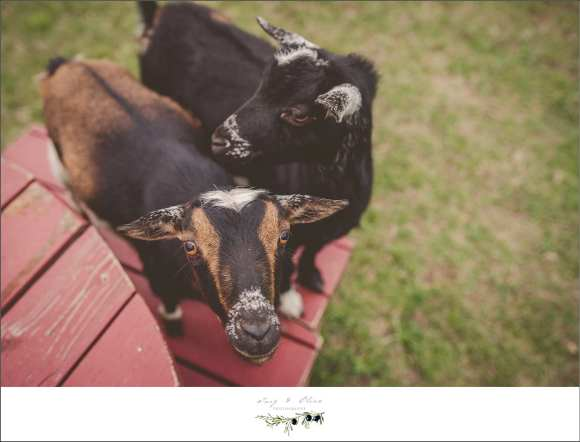goats, animals, farm animals, barnyards, pasture, Eagle to Sun Prairie WI connection, engagement sessions on the farm