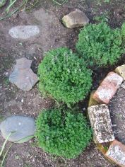"""Look at my balls!"" I said to The Husband. He wasn't nearly as excited about them as I was. These ones are lemon thyme."