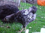 The silver laced Wyandotte, my favourite newbie. You better be a girl! Her colouring isn't actually very good but she has a cool personality.
