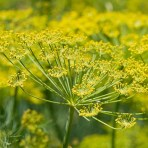 Fennel umbrella flower