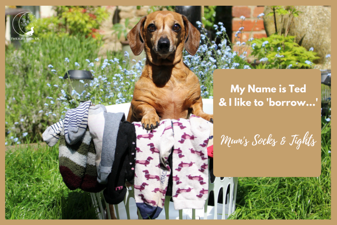 It's true! My dog is a sock thief! Click to read 4 funny dog tales from dog parents about their dog. This is Ted's story.