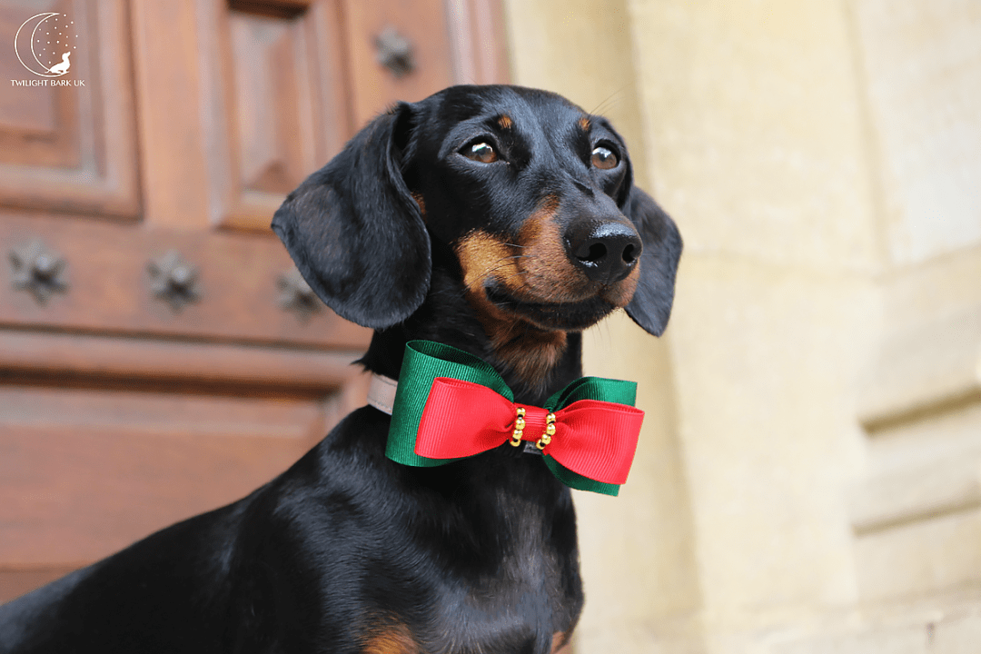 Millie the dachshund from dog blog Twilight Bark UK wearing the Green & Red Dog Bow Tie from Paws with Opulence