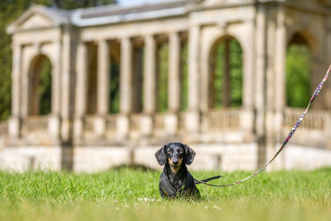 Click to discover why the National Trust dog walks at Stowe make an incredible day out with your dog. Picture shows our dachshund Millie from Twilight Bark UK at Palladian Bridge.