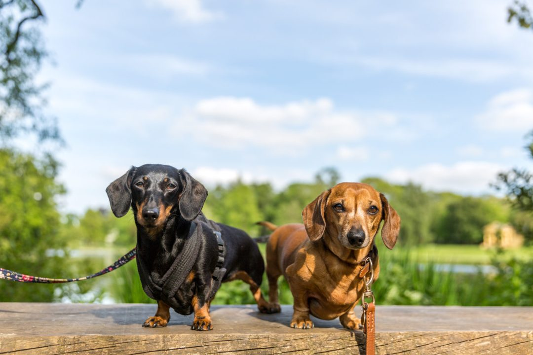 Click to discover why the National Trust dog walks at Stowe make an incredible day out with your dog. Picture shows our two dachshunds from Twilight Bark UK at the Octagon Lake at Stowe.