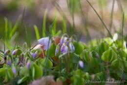 Klee im Anemonenwald