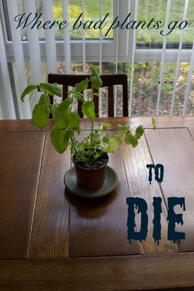 mint - a bad mint plant