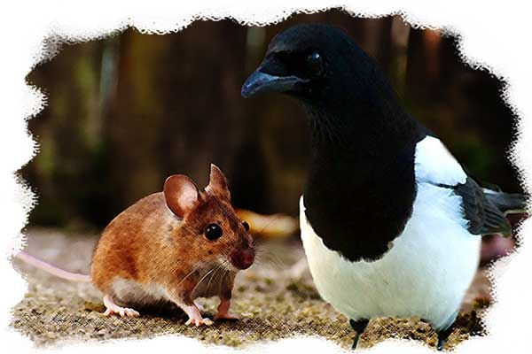 The field mouse and the magpie