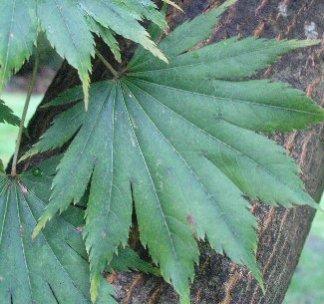 acer shirwa palm