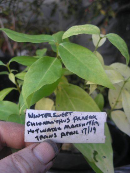 Chimoanthus praecox germination