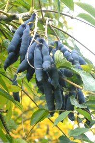 decaisnea fruit