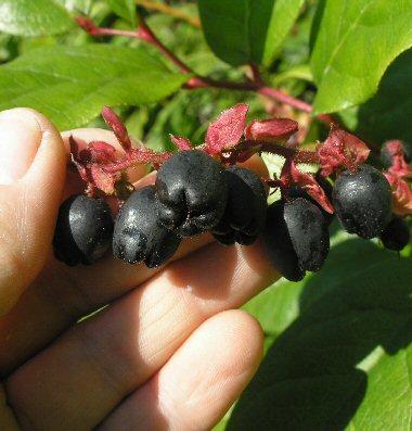 gaultheria shallon berries