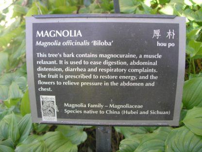 Magnolia officinalis biloba