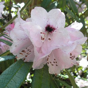 Rhododendron coeloneuron