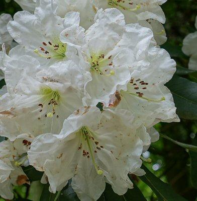 rhododendron decorum wiki
